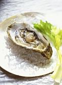 Opened oyster on salt