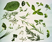 Still Life fo Assorted Herbs
