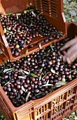 Black olives from Les Baux de Provence in transport boxes