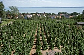 Riesling vineyard above Badacsony on Lake Balaton, Hungary