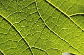 Vine leaf (close-up)