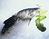Salmon in crushed ice with rocket leaf in mouth