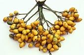 Betel nut (Areca nut; Areca catechu L., from Asia)