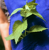 Nettle in apron pocket