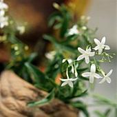 Blühender Jasmin (Jasminum officin., Heilpflanze für Öl, Tee)