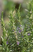 Rosemary in the open air