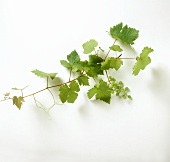 Vine leaves with unripe grapes on white background