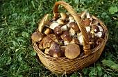 Basket of freshly gathered ceps in meadow