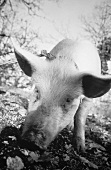 Truffle pig hunting for truffles (b/w photo)