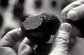 Cutting black truffle (b/w photo)