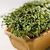 Garden cress in flowerpot