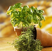Basil and rosemary in pot