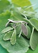 Various sage leaves