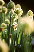 Flowering garlic chives