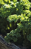Curled parsley in garden