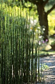 Horsetail (Equisetum hyemale) in garden