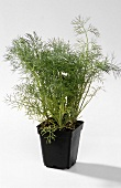 Dill in a pot