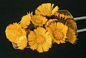 Coltsfoot flowers (Tussilago farfara)
