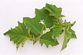 Kantikari - medicinal plant from India (Solanum xanthocarpum)