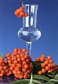 Ripe rowan berries and a glass of rowan berry schnapps