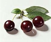 Morello cherries with leaves