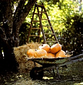 Giant orange pumpkins in a wheelbarrow