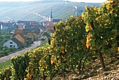 Vineyard, Eschendorf, Eschendorf Grosslage, Volkach, Franken