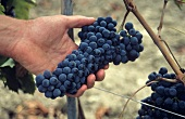 Picking Sangiovese Grapes