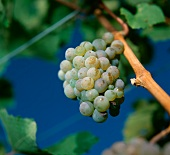 Close-up of bunch of Riesling grapes, Meran, S. Tyrol