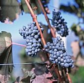 Pinot Noir (Blauburgunder) in vineyard, Meran, S. Tyrol