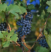 Cabernet grapes in vineyard, Meran, S. Tyrol