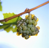 Riesling grapes on a branch, Burggrafenamt, S. Tyrol