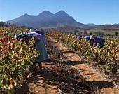 People picking grapes in vineyard, Kanonkop, Stellenbosch