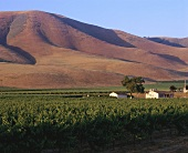 Vineyard of Edna Valley Winery, Central Coast, California