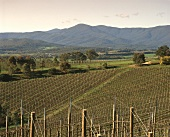 Newly established vineyards, Goldstream Hills, Australia