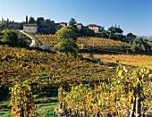 Vineyard at Castello di Ama, Lecchi, Tuscany, Italy