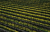 Vineyard with mustard flowers, McLaren Vale, S. Australia