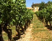 Vineyard at St. Colombe, Bourg, Bordeaux, France