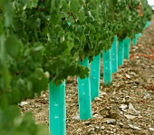 Young vines at Taylors Fladgate and Yeatman, Portugal