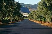 Allee führt zum Weingut Opus One, Napa Valley, Kalifornien