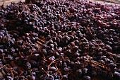 Dried grapes for Amarone wine, Valpolicella, Italy