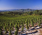 View over Marsanne vineyard, Larnage, Drome, France
