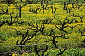 Vines among mustard flowers, Magill, S. Australia