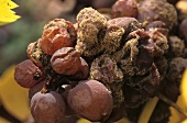 Noble rot (Botrytis) attacking Gewürztraminer grapes, Alsace