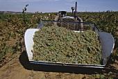 Riesling-Weintrauben im Anhänger, Barossa, Südaustralien