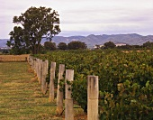 Mountain Blue vineyards at Mudgee, Rosemount, Australia