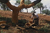 Man removing bark from cork oak in Portugal