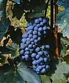 Barbera grapes on the vine, Piemonte, Italy