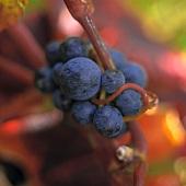 Malbec grapes, Marlborough, New Zealand