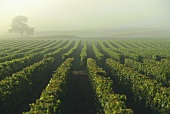 Morning mist over vineyards, Saumur-Champigny